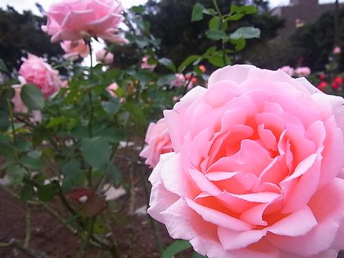 ベイブリッジとバラ園のバラ席次・席札♪_b0105897_23443611.jpg