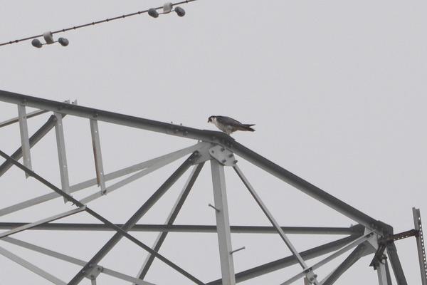 ハヤブサが空中捕獲/今日のカワセミ/台風一過の西天/雨の中柱上変圧器交換_b0024798_1810187.jpg