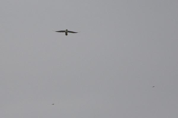 ハヤブサが空中捕獲/今日のカワセミ/台風一過の西天/雨の中柱上変圧器交換_b0024798_1895439.jpg