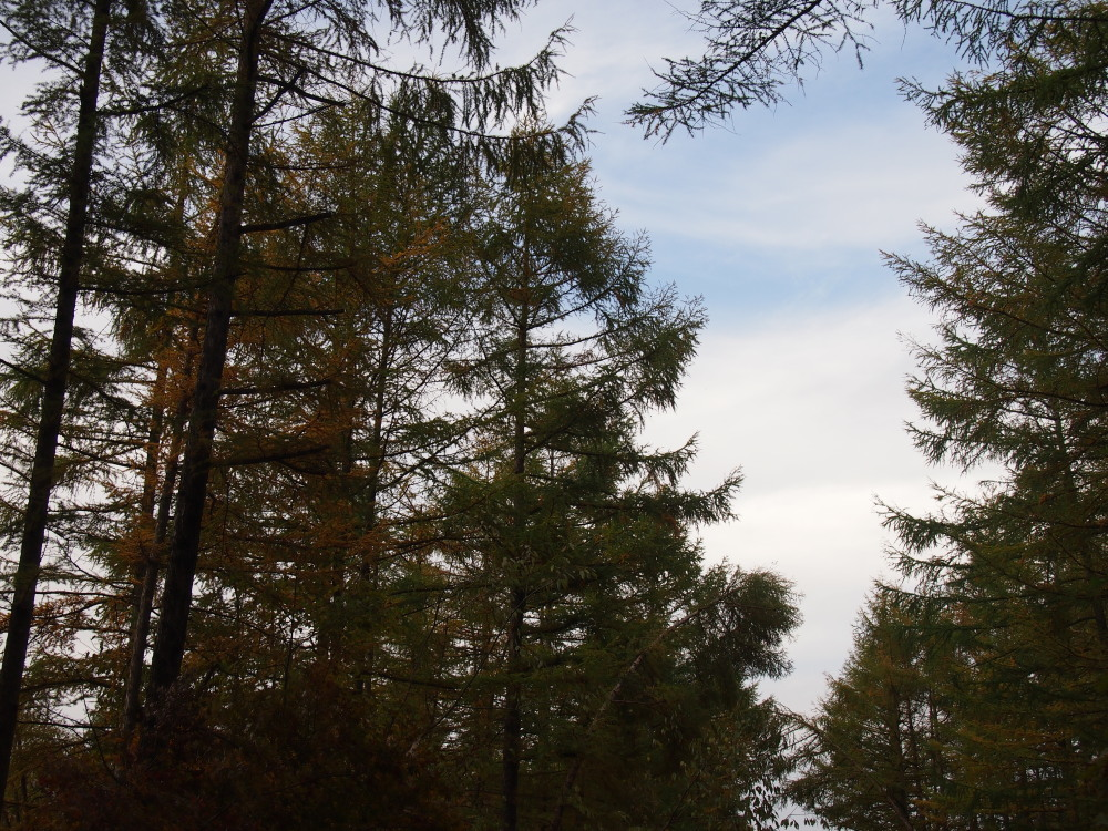 宿のまわりのカラマツの木々・・少し色づいてきました。_f0276498_23244171.jpg