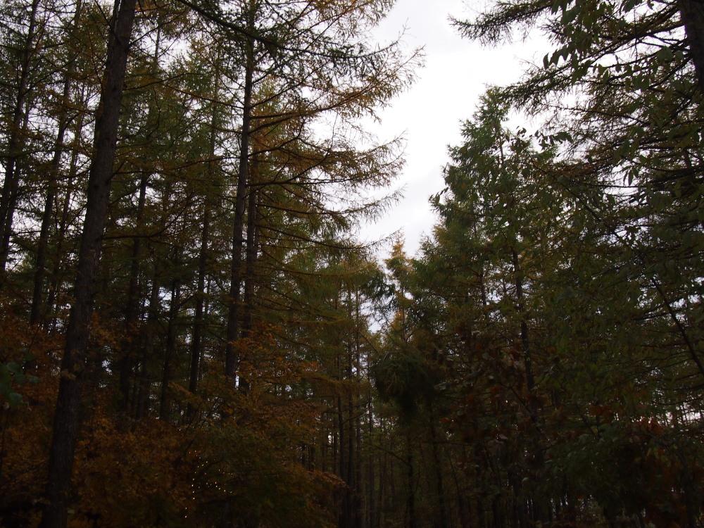宿のまわりのカラマツの木々・・少し色づいてきました。_f0276498_23261174.jpg