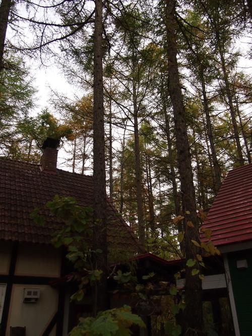 宿のまわりのカラマツの木々・・少し色づいてきました。_f0276498_2327078.jpg