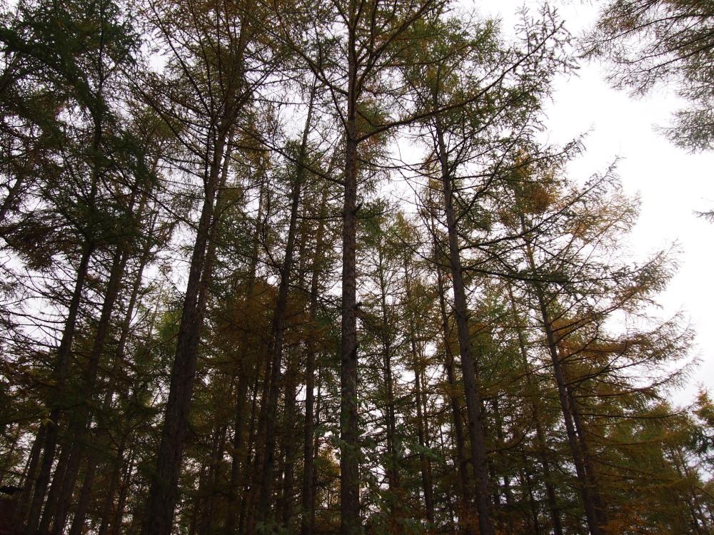 宿のまわりのカラマツの木々・・少し色づいてきました。_f0276498_23282718.jpg