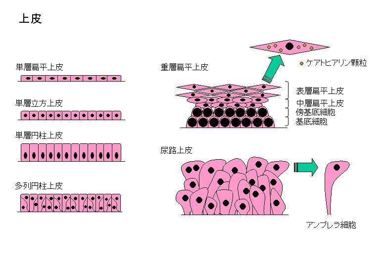【医療/仕事】 H24細胞診筆記 総論18 上皮 : 蒼風の古都