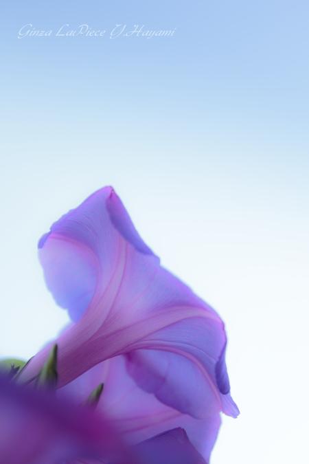 花のある風景 空とヒルガオ_b0133053_1264752.jpg