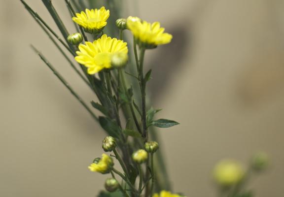 菊の時節です_a0133859_10335384.jpg