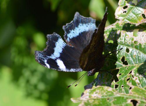 ルリタテハ 秋型の新鮮な個体に出会えました_d0254540_18233454.jpg