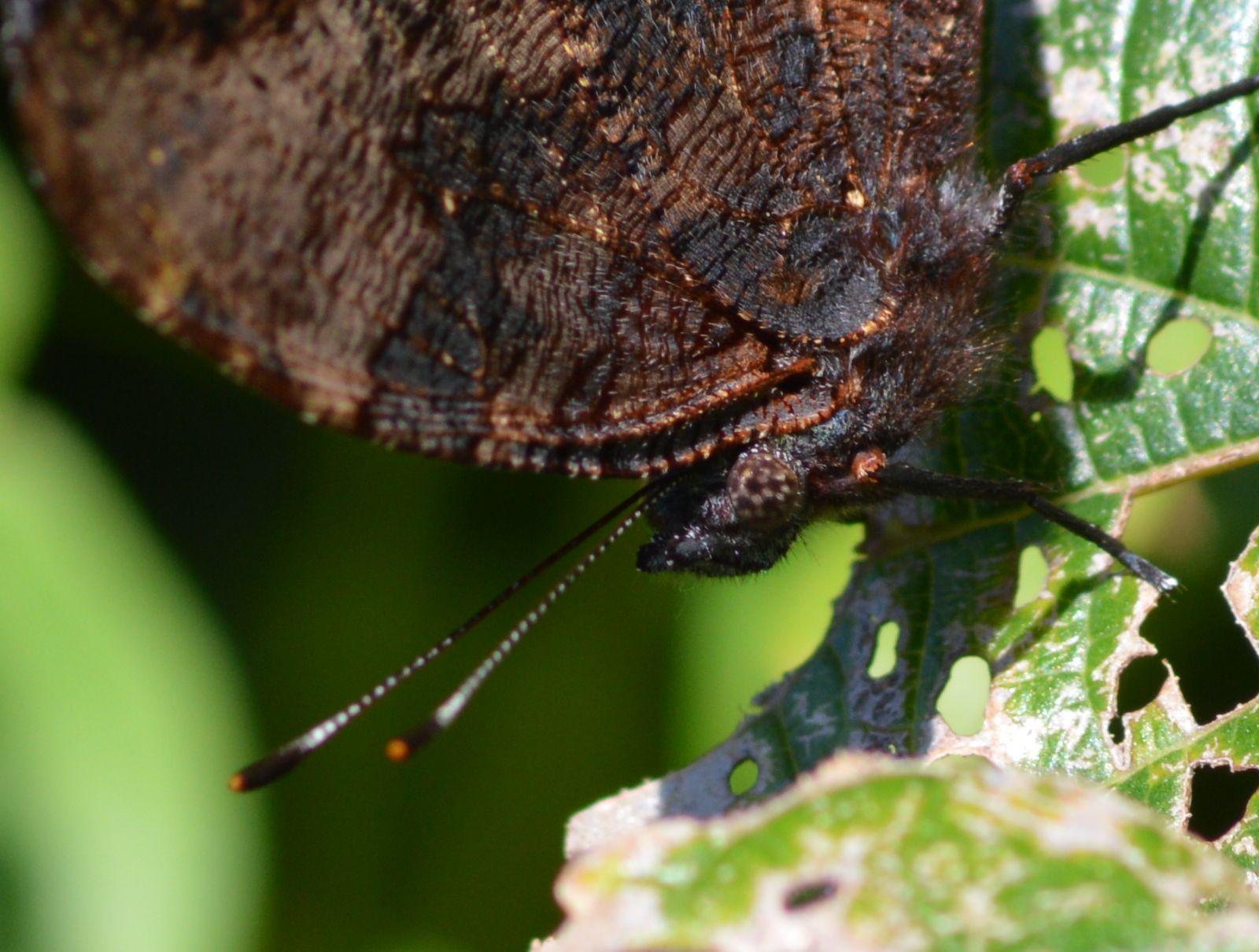 ルリタテハ 秋型の新鮮な個体に出会えました_d0254540_18253712.jpg
