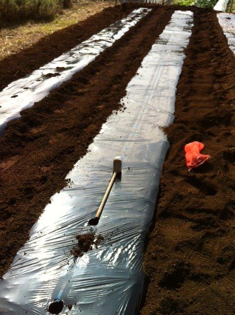 今朝 蚕豆&グリンピース、スナックエンドウの播種をしました_c0222448_15555612.jpg