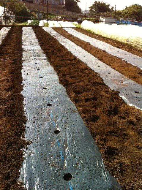 今朝 蚕豆&グリンピース、スナックエンドウの播種をしました_c0222448_15565060.jpg