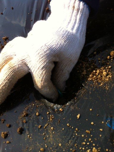 今朝 蚕豆&グリンピース、スナックエンドウの播種をしました_c0222448_1556818.jpg
