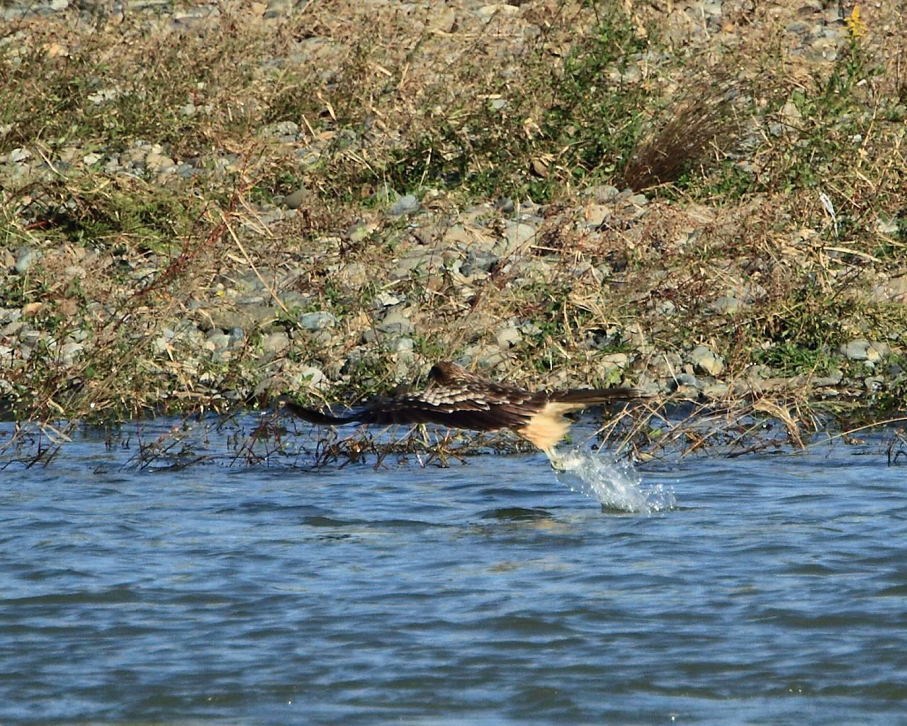 相模川のミサゴ会場ではミサゴの代わりにトビが大活躍_f0105570_21233050.jpg