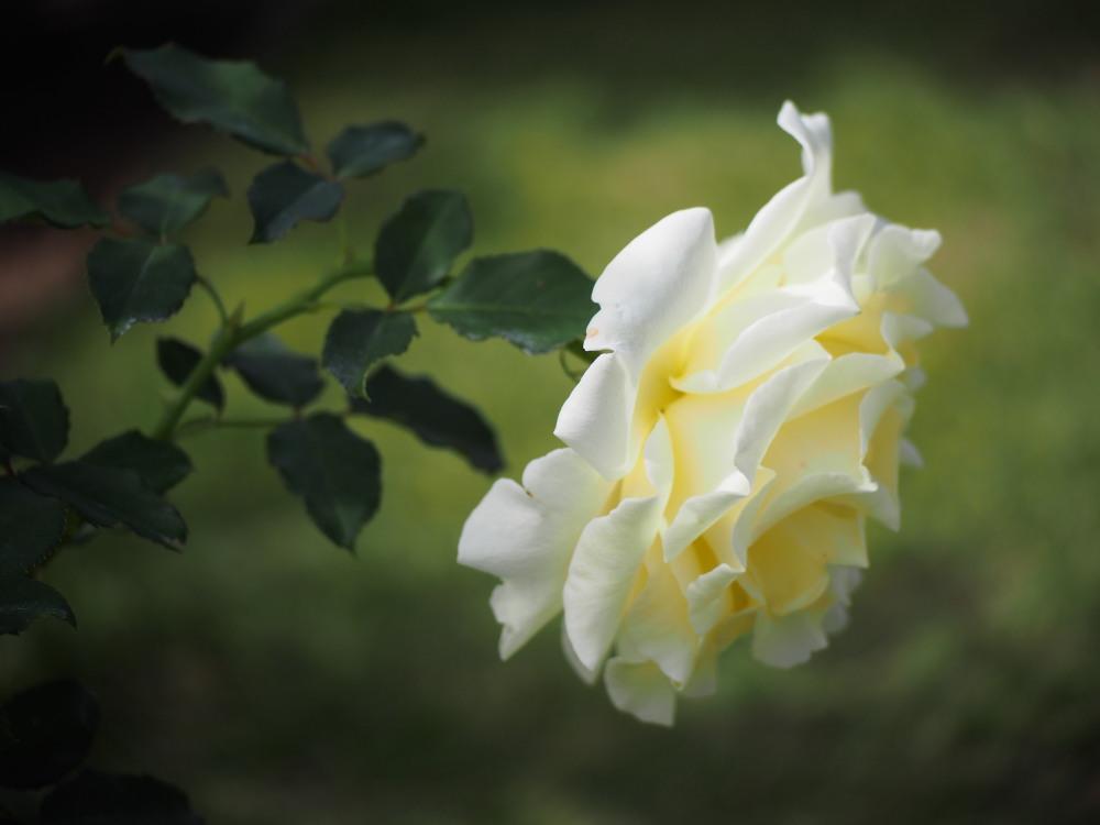 白薔薇_e0169421_21173434.jpg