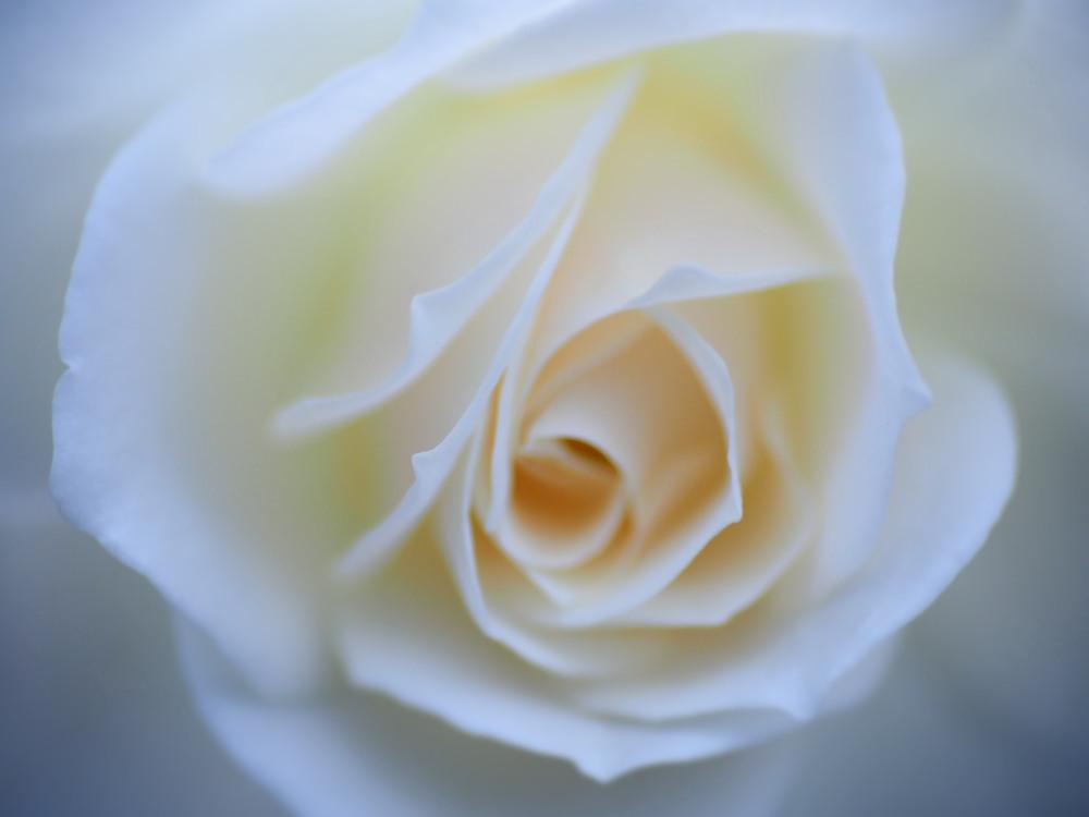 白薔薇_e0169421_2118217.jpg