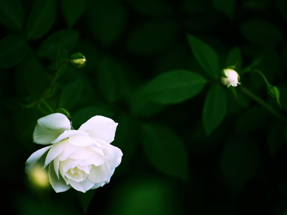 白薔薇_e0169421_21182991.jpg