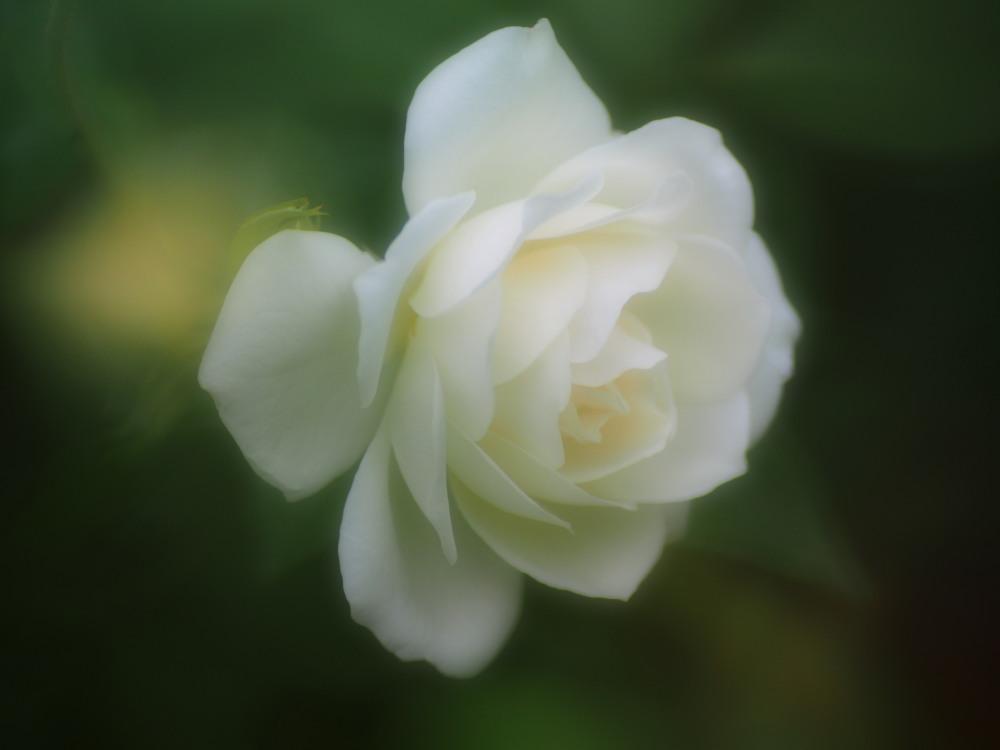 白薔薇_e0169421_21183695.jpg