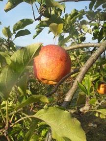 見事なリンゴとかりん_d0003224_1524013.jpg