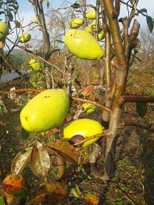 見事なリンゴとかりん_d0003224_15241770.jpg