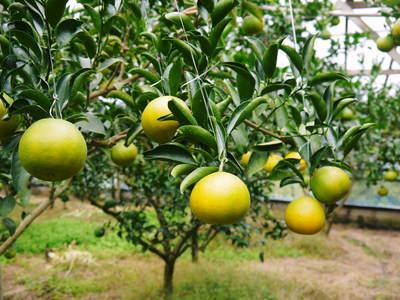 究極の柑橘「せとか」 いよいよ色付いてきました!でも、もう1回り大きくなりますよ!!_a0254656_17455335.jpg