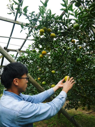 究極の柑橘「せとか」 いよいよ色付いてきました!でも、もう1回り大きくなりますよ!!_a0254656_18123199.jpg