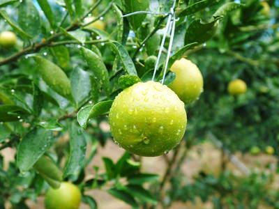 究極の柑橘「せとか」 いよいよ色付いてきました!でも、もう1回り大きくなりますよ!!_a0254656_18184354.jpg