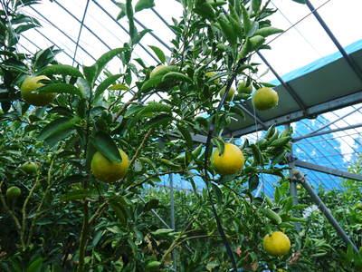 究極の柑橘「せとか」 いよいよ色付いてきました!でも、もう1回り大きくなりますよ!!_a0254656_1821760.jpg