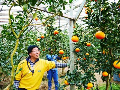 究極の柑橘「せとか」 いよいよ色付いてきました!でも、もう1回り大きくなりますよ!!_a0254656_18364430.jpg
