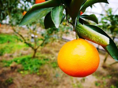 究極の柑橘「せとか」 いよいよ色付いてきました!でも、もう1回り大きくなりますよ!!_a0254656_18403277.jpg