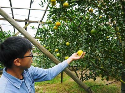 究極の柑橘「せとか」 いよいよ色付いてきました!でも、もう1回り大きくなりますよ!!_a0254656_1894982.jpg
