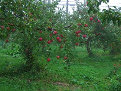 朝のりんご畑    10.29_e0019167_7513870.jpg