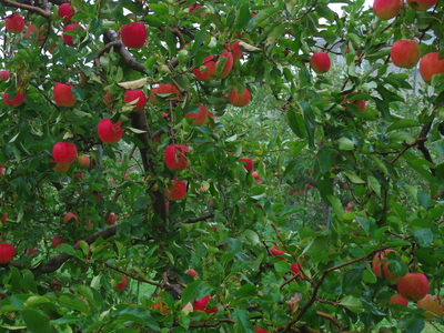 朝のりんご畑    10.29_e0019167_7573626.jpg