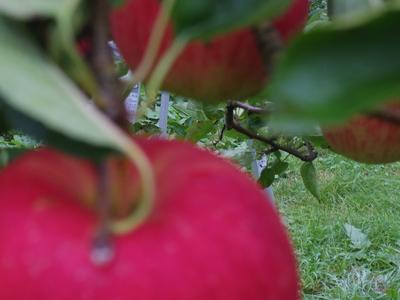 朝のりんご畑    10.29_e0019167_7595475.jpg