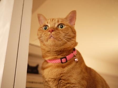 素直になれない茶トラ女の子猫 しぇる編。_a0143140_19473423.jpg
