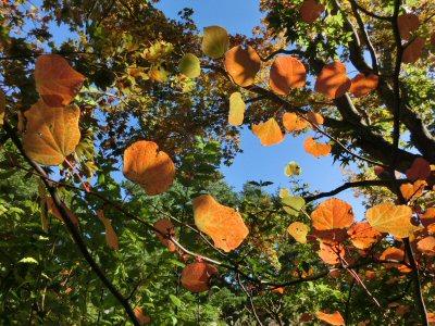 マルバノキの紅葉と花_f0019247_2054463.jpg