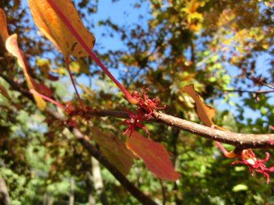 マルバノキの紅葉と花_f0019247_2085943.jpg
