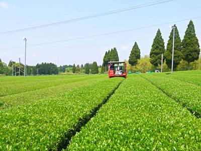 菊池水源茶 秋冬茶の茶摘_a0254656_1725143.jpg