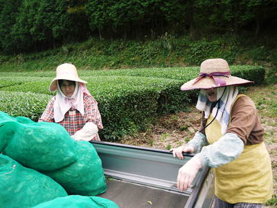 菊池水源茶 秋冬茶の茶摘_a0254656_17542996.jpg