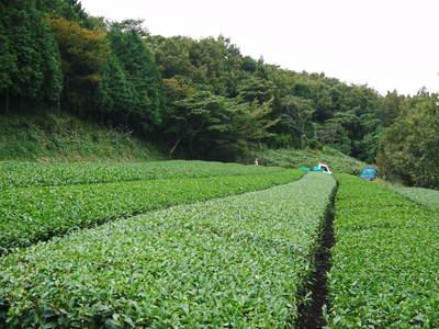菊池水源茶 秋冬茶の茶摘_a0254656_18101682.jpg