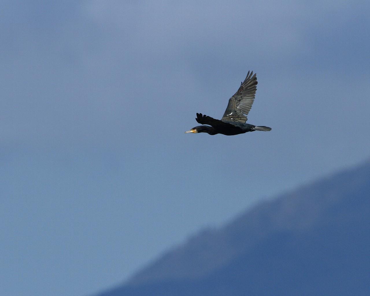 大山背景にカワウの飛翔_f0105570_2235625.jpg