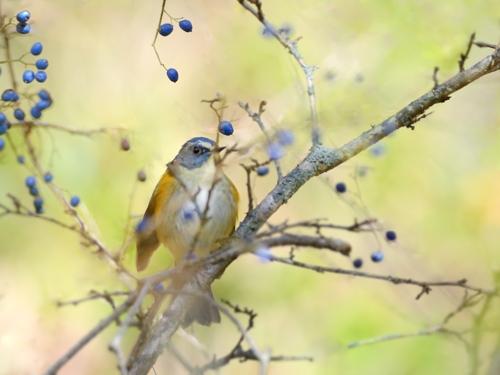 秋の小鳥たち(7)ルリビタキ再び_a0204089_6495085.jpg