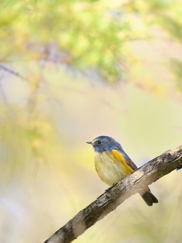 秋の小鳥たち(7)ルリビタキ再び_a0204089_6495930.jpg