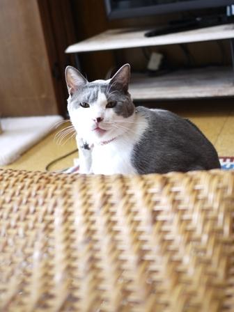 猫のお友だち たびおくんシソちゃん編_a0143140_19253985.jpg