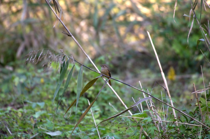 2013.10.31 この秋のコンセプト(綺麗な写真を撮る)里山公園、神川橋・ジョウビタキ、ミサゴ、コガモ_c0269342_2236414.jpg