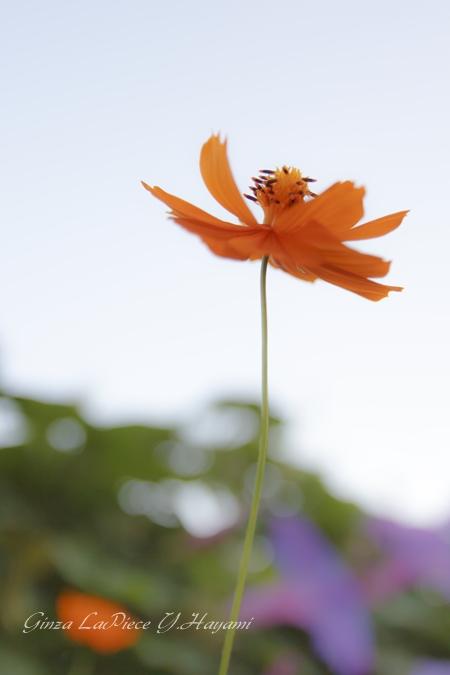花のある風景 キバナコスモス_b0133053_3351510.jpg
