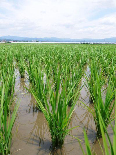 平成25年度新米 熊本の豊かな自然が育む、美味しいお米「七城米」好評発売中!!_a0254656_17333641.jpg