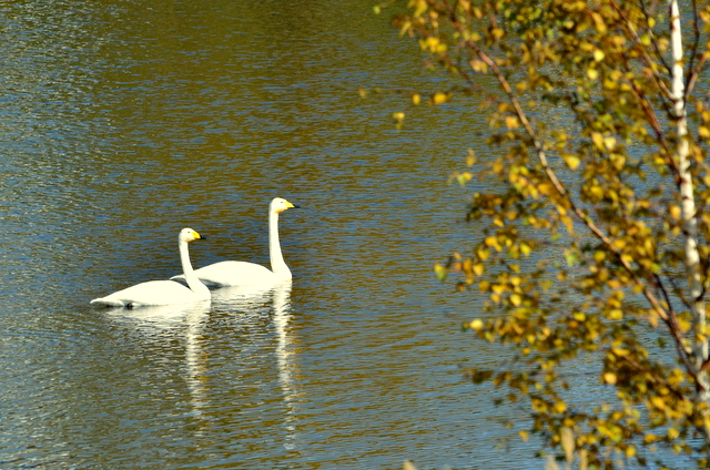 秋色に 染まりし水辺の スワンかな_b0165760_21354685.jpg