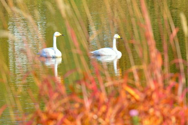 秋色に 染まりし水辺の スワンかな_b0165760_21365557.jpg