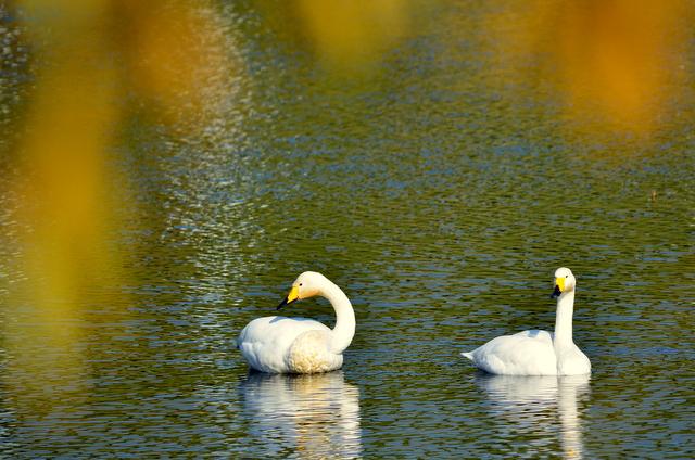 秋色に 染まりし水辺の スワンかな_b0165760_2137391.jpg