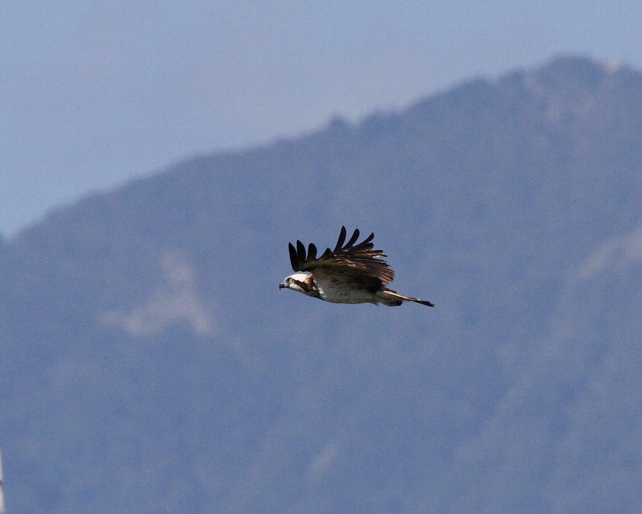 大山背景に相模川の上を飛ぶミサゴ_f0105570_2139181.jpg