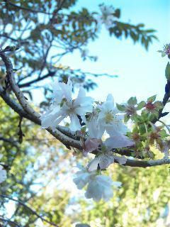 blog:寒桜_a0103940_2465239.jpg
